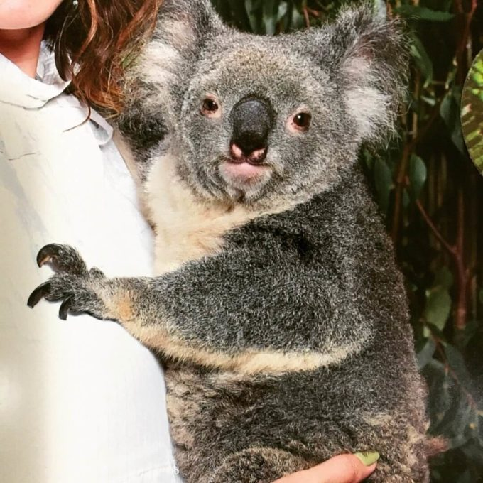 コアラ抱っこ写真