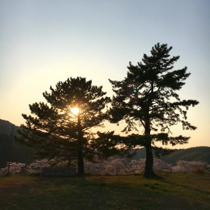 城山公園の桜夕暮れ