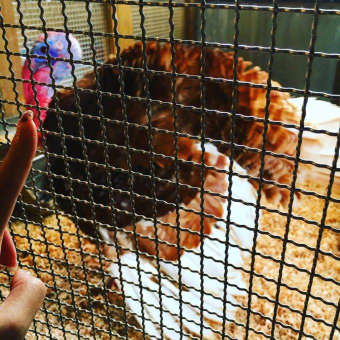 ビッグⅡ動物園ニワトリ